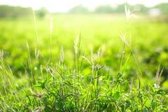 Piękna kępa trawa obraz stock