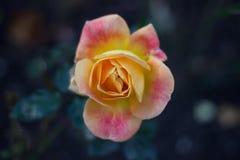 Piękna kolor żółty menchii róża Zdjęcia Stock