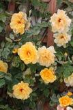 Piękna kolor żółty róża kwitnie przy ogródem Zdjęcia Stock
