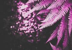 Piękna kolorowa jaskrawa różowa paproć opuszcza tło Egzota fe Zdjęcia Stock