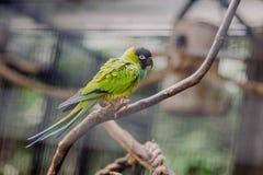 Piękna kolorowa papuga na gałąź Zdjęcie Royalty Free