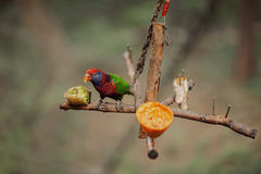 Piękna kolorowa papuga na gałąź Fotografia Royalty Free