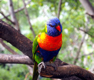 Piękna kolorowa papuga na gałąź Obraz Royalty Free