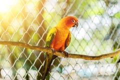 Piękna kolorowa papuga, słońca Conure Aratinga solstitialis, s Zdjęcie Royalty Free