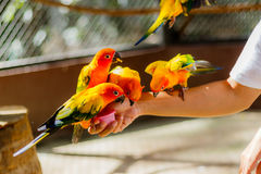 Piękna kolorowa papuga, słońca Conure Aratinga solstitialis, s Obraz Stock