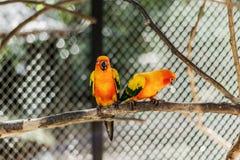 Piękna kolorowa papuga, słońca Conure Aratinga solstitialis, s Obrazy Royalty Free