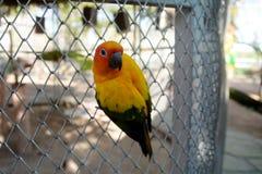 Piękna kolorowa papuga, słońce Conure Fotografia Royalty Free