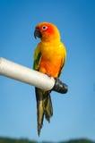 Piękna kolorowa papuga, słońce Conure (Aratinga solstitialis) Obrazy Royalty Free