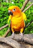 Piękna kolorowa papuga, słońce Conure, g (Aratinga solstitialis) Fotografia Royalty Free