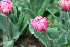 Piękna kopia Kostrzewiący Różowy tulipan Po deszczu obraz stock