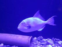 Piękna koral ryba w błękitne wody Obraz Royalty Free