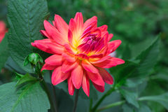 Piękna kwiat dalia fotografia stock