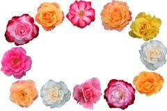piękna kwiat zbieranie rose fotografia royalty free