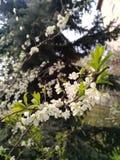 Piękna kwiatonośna jabłoni gałąź na zamazanym drewnianym tle Zdjęcia Stock