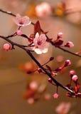 Piękna kwiatonośna Japońska wiśnia Zdjęcie Royalty Free