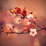 Piękna kwiatonośna Japońska wiśnia - Sakura Tło z kwiatami na wiosna dniu Zdjęcie Royalty Free