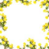 piękna kwiatu kolcolist zdjęcie royalty free