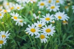 Piękna kwitnąca biała stokrotka w ogródzie Obrazy Royalty Free