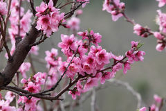 Piękna kwitnąca brzoskwinia Obraz Stock