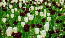 Piękna kwitnąca kolorowa Tulipanowa kwiat tapeta ogród Obraz Stock