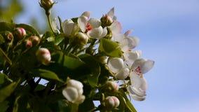 Piękna kwitnie jabłoń na wiatrowej wiośnie w ogródzie Statyczna kamera zbiory wideo