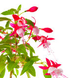 Piękna kwitnienie gałąź czerwony i biały fuksja kwiat jest iso Obraz Stock