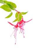 Piękna kwitnienie gałąź czerwony i biały fuksja kwiat jest iso Zdjęcia Royalty Free
