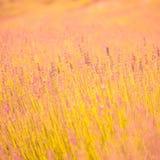 Piękna lato łąka kwitnie, kolorowy lawenda krajobraz Zdjęcia Royalty Free