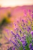 Piękna lato łąka kwitnie, kolorowy lawenda krajobraz Fotografia Royalty Free