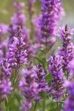 piękna linia brzegowa kwitnie dorośnięcie menchie Fotografia Stock