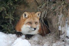 piękna lis czerwień Zdjęcia Stock