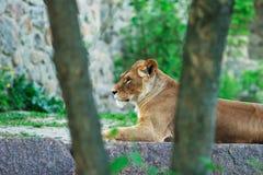 Piękna lwica zdjęcia royalty free