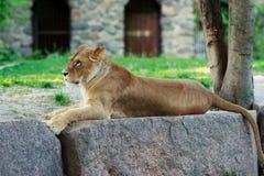 Piękna lwica obraz royalty free