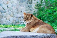Piękna lwica zdjęcie stock