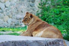 Piękna lwica obrazy royalty free