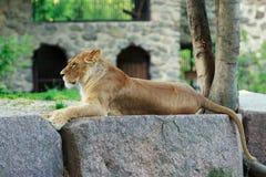 Piękna lwica fotografia royalty free
