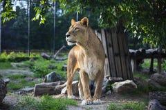 Piękna lwica królowa bestii Zielony tło obrazy royalty free