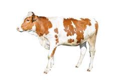 Piękna młoda krowa odizolowywająca na białym tle Śmieszna czerwieni i białej łaciasta krowa folował długość Zdjęcia Stock