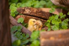 Piękna mała żółta gąska dalej outdoors Fotografia Royalty Free