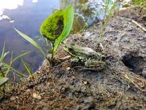 Piękna mała żaba Żaba żyje w jeziorze fotografia stock