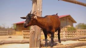 Piękna mała brąz kózka na gospodarstw rolnych spojrzeniach w Meru, zwierzęta domowe, śliczna czerwona kózka zbiory