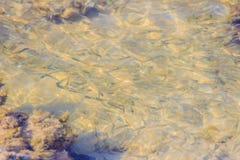 Piękna Mała sardela lub Stolephorus, łowimy w płytkim morzu Fotografia Stock