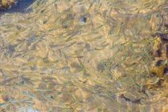 Piękna Mała sardela lub Stolephorus, łowimy w płytkim morzu w Fotografia Stock
