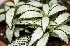 Piękna makro- fotografia zielona i biała nerw roślina w glinianym garnku fotografia royalty free
