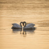 Piękna matująca para niemi łabędź w klasyczny serce kształtującej pozie zdjęcia stock