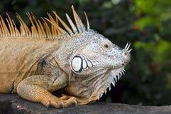 Piękna Meksykańska iguana Obraz Royalty Free