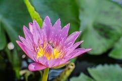 Piękna menchia waterlily, lotosowy kwiat w stawie z pszczołą lub Fotografia Stock