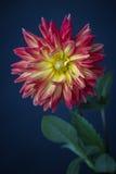 Piękna menchii, czerwieni i koloru żółtego dalia, zdjęcia royalty free