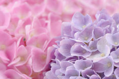 Piękna menchii i purpur hortensja Kwitnie z Wodnymi kroplami Obraz Stock