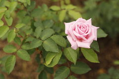 Piękna menchii róża Obraz Royalty Free